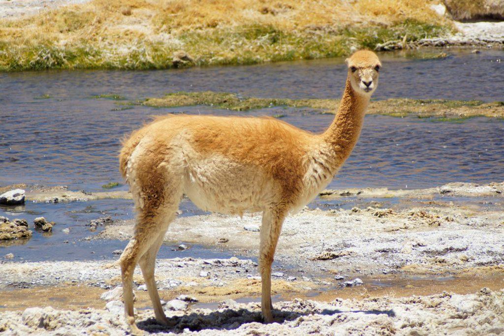 Vikunja im Altiplano