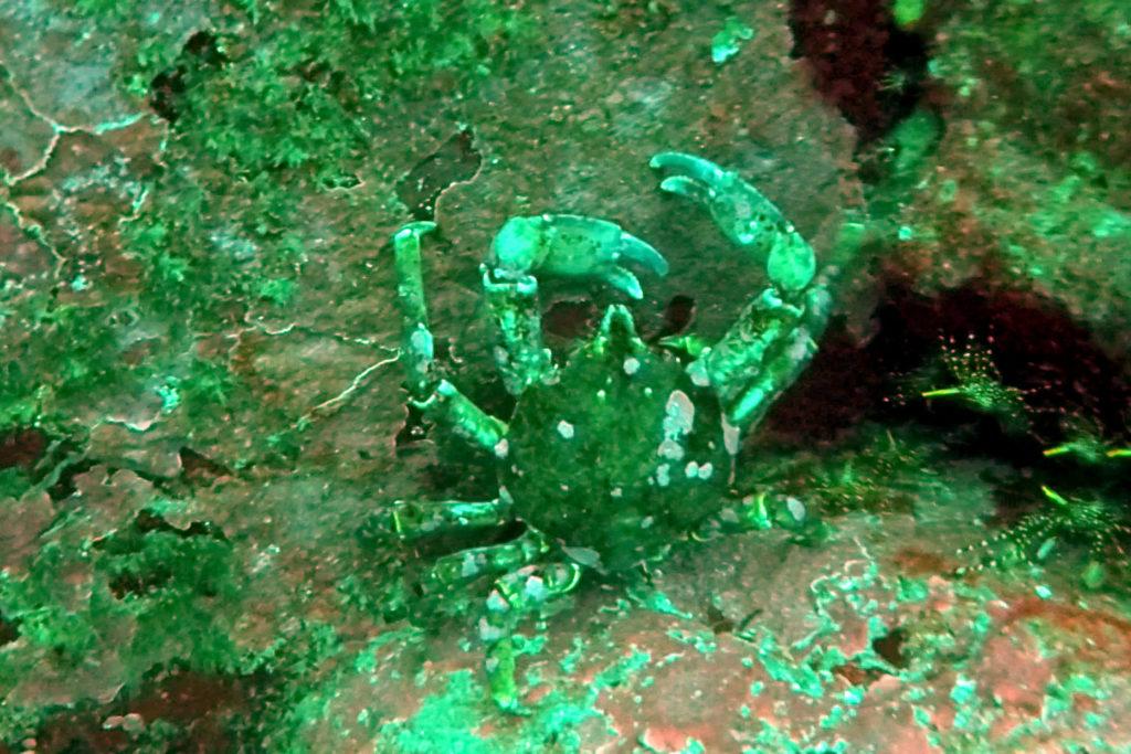 Krabbe am Meeresboden