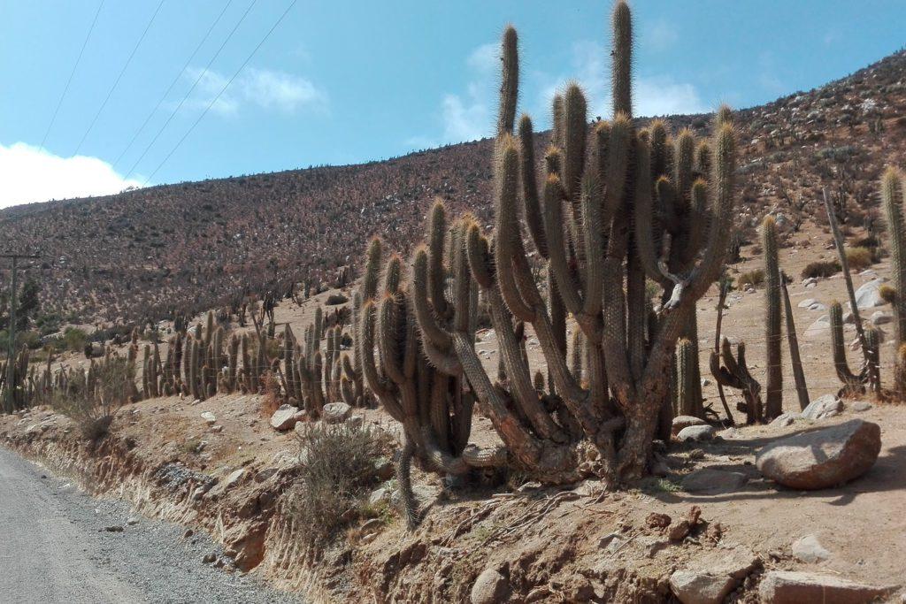 Kakteen als Zaun im Valle Quilimarí